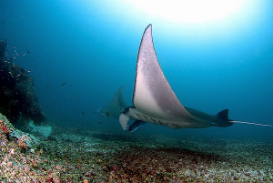 Manta diving around Komodo by Mona Dienhart 